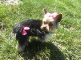 Yorkie after grooming